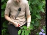 Гортензии ч.5 - Прекрасные цветы и все секреты их выращивания[[164247381]]